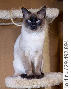 Купить «Young cat, kitten of Siam  oriental breed, bobtail Mekong», фото № 29492894, снято 27 декабря 2017 г. (c) Куликов Константин / Фотобанк Лори