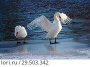 Купить «Пара лебедей на зимнем пруду», фото № 29503342, снято 29 ноября 2018 г. (c) Natalya Sidorova / Фотобанк Лори