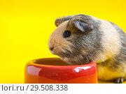 Купить «Smooth guinea pig eats from a red bowl on a yellow background», фото № 29508338, снято 1 декабря 2018 г. (c) Катерина Белякина / Фотобанк Лори