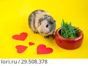 Smooth-haired guinea pig beige-black colors next to a bowl of green grass on a yellow background and red hearts. Стоковое фото, фотограф Катерина Белякина / Фотобанк Лори