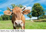 Купить «Любопытная корова на лугу в солнечный летний день», фото № 29508426, снято 5 августа 2018 г. (c) Екатерина Овсянникова / Фотобанк Лори