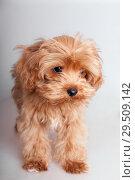 Купить «Portrait of a shaggy puppy», фото № 29509142, снято 14 января 2009 г. (c) Argument / Фотобанк Лори