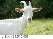 Купить «Белая козочка на поляне рядом с лесом», фото № 29510038, снято 7 августа 2018 г. (c) Екатерина Овсянникова / Фотобанк Лори