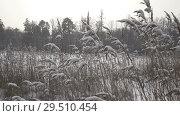 Купить «The coast of the forest lake with canes in the foreground in winter sunny day,It is snowing», видеоролик № 29510454, снято 1 декабря 2008 г. (c) Куликов Константин / Фотобанк Лори