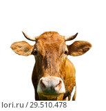 Купить «Коричневая корова, изолировано на белом фоне», фото № 29510478, снято 20 мая 2019 г. (c) Екатерина Овсянникова / Фотобанк Лори