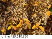Купить «Кустарник Гортензии с отцветающими соцветиями осенью», эксклюзивное фото № 29510850, снято 6 ноября 2018 г. (c) lana1501 / Фотобанк Лори