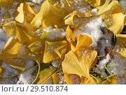 Купить «Yellow Ginkgo Biloba leaves under snow», фото № 29510874, снято 29 октября 2018 г. (c) Stockphoto / Фотобанк Лори