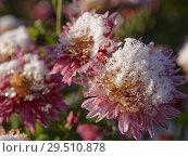 Купить «Chrysanthemum under snow», фото № 29510878, снято 29 октября 2018 г. (c) Stockphoto / Фотобанк Лори