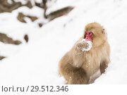Купить «japanese macaque or monkey searching food in snow», фото № 29512346, снято 7 февраля 2018 г. (c) Syda Productions / Фотобанк Лори