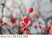 Купить «close up of beautiful sakura tree blossoms», фото № 29512354, снято 11 февраля 2018 г. (c) Syda Productions / Фотобанк Лори