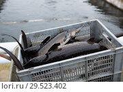 Купить «Sturgeon stacked in box on fish farm», фото № 29523402, снято 4 февраля 2018 г. (c) Яков Филимонов / Фотобанк Лори