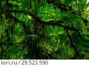 Купить «Background - subtropical forest, yew-boxwood grove with mossy tree trunks», фото № 29523590, снято 25 сентября 2017 г. (c) Евгений Харитонов / Фотобанк Лори