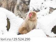 Купить «japanese macaque in snow at jigokudan monkey park», фото № 29524290, снято 7 февраля 2018 г. (c) Syda Productions / Фотобанк Лори