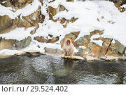 Купить «japanese macaque or snow monkey in hot spring», фото № 29524402, снято 8 февраля 2018 г. (c) Syda Productions / Фотобанк Лори
