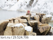 Купить «japanese macaque or snow monkey in hot spring», фото № 29524706, снято 8 февраля 2018 г. (c) Syda Productions / Фотобанк Лори