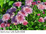 Купить «Цветущие розовые хризантемы в саду», фото № 29529934, снято 20 сентября 2018 г. (c) Елена Коромыслова / Фотобанк Лори