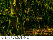 Купить «Background - subtropical forest, yew-boxwood grove with mossy tree trunks», фото № 29531042, снято 25 сентября 2017 г. (c) Евгений Харитонов / Фотобанк Лори