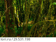 Купить «Background - subtropical forest, yew-boxwood grove with mossy tree trunks», фото № 29531198, снято 25 сентября 2017 г. (c) Евгений Харитонов / Фотобанк Лори