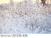 Купить «Ветки тростника покрытые снегом в лучах закатного солнца на берегу лесного озера, крупный план», фото № 29536438, снято 30 декабря 2014 г. (c) Кекяляйнен Андрей / Фотобанк Лори