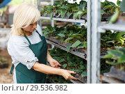 Купить «Woman working with poinsettia pulcherrima seedlings at shelves in garden», фото № 29536982, снято 20 августа 2018 г. (c) Яков Филимонов / Фотобанк Лори