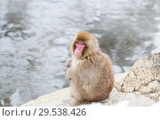 Купить «japanese macaque or snow monkey in hot spring», фото № 29538426, снято 7 февраля 2018 г. (c) Syda Productions / Фотобанк Лори