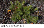 Купить «Small bushes of evergreen Siberian dwarf pine or Japanese stone pine in tundra», видеоролик № 29539454, снято 29 сентября 2018 г. (c) А. А. Пирагис / Фотобанк Лори