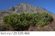 Купить «Bushes of evergreen Japanese stone pine or Siberian dwarf pine in tundra», видеоролик № 29539466, снято 29 сентября 2018 г. (c) А. А. Пирагис / Фотобанк Лори