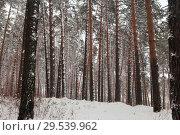 Купить «Лес сосновый в снегу», эксклюзивное фото № 29539962, снято 2 декабря 2018 г. (c) Анатолий Матвейчук / Фотобанк Лори