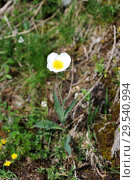 Купить «Pyrenees buttercup (Ranunculus pyrenaeus) is a perennial herb endemic to Pyrenees and Alps. This photo was taken in Valle de Aran, Lleida province, Pyrenees, Catalonia, Spain.», фото № 29540994, снято 14 июня 2013 г. (c) age Fotostock / Фотобанк Лори