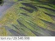 Купить «River water crow-foot (Ranunculus fluitans) is an aquatic herb native to western Europe. This photo was taken in Tietar river in Avila Toledo provinces border, Spain.», фото № 29540998, снято 19 апреля 2011 г. (c) age Fotostock / Фотобанк Лори