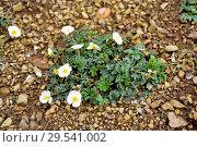 Купить «Ranunculo cantabrico (Ranunculus seguieri cantabricus) is a subspecies endemic to Cantabrian Mountains. This photo was taken in Babia, Leon province, Castilla-Leon, Spain.», фото № 29541002, снято 4 июня 2018 г. (c) age Fotostock / Фотобанк Лори