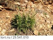 Купить «Gualdilla (Reseda undata) is an annual or perennial herb native to Spain and Morocco. This photo was taken in Teruel province, Aragon, Spain.», фото № 29541010, снято 3 мая 2009 г. (c) age Fotostock / Фотобанк Лори