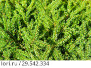 Купить «Еловые ветви (фон)», фото № 29542334, снято 5 августа 2018 г. (c) Екатерина Овсянникова / Фотобанк Лори