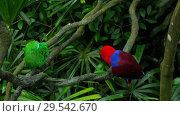 Купить «Green and red couple parrots», видеоролик № 29542670, снято 29 ноября 2018 г. (c) Игорь Жоров / Фотобанк Лори