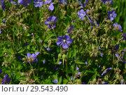 Купить «Герань луговая, или Журавельник луговой (лат. Geranium pratense)», эксклюзивное фото № 29543490, снято 24 июня 2015 г. (c) lana1501 / Фотобанк Лори