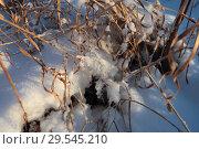 Купить «Травы осенние в снегу», эксклюзивное фото № 29545210, снято 25 ноября 2018 г. (c) Анатолий Матвейчук / Фотобанк Лори