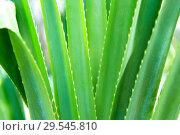 Купить «exotic green plant», фото № 29545810, снято 21 февраля 2018 г. (c) Syda Productions / Фотобанк Лори