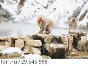 Купить «japanese macaques or snow monkeys at hot spring», фото № 29545998, снято 8 февраля 2018 г. (c) Syda Productions / Фотобанк Лори