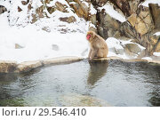 Купить «japanese macaque or snow monkey in hot spring», фото № 29546410, снято 8 февраля 2018 г. (c) Syda Productions / Фотобанк Лори