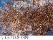 Купить «Трава осока желтая в снегу. Начало зимы», эксклюзивное фото № 29547698, снято 25 ноября 2018 г. (c) Анатолий Матвейчук / Фотобанк Лори