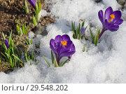 Купить «Фиолетовые крокусы (лат. Crocus) в снегу», фото № 29548202, снято 16 апреля 2018 г. (c) Елена Коромыслова / Фотобанк Лори