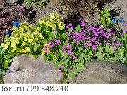 Купить «Цветущие примулы в весеннем саду», фото № 29548210, снято 14 мая 2018 г. (c) Елена Коромыслова / Фотобанк Лори