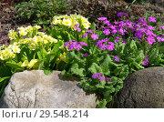 Купить «Цветущие примулы на весенней клумбе в саду», фото № 29548214, снято 15 мая 2018 г. (c) Елена Коромыслова / Фотобанк Лори