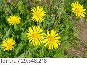 Купить «Дороникум (лат. Doronicum) цветет в саду», фото № 29548218, снято 23 мая 2018 г. (c) Елена Коромыслова / Фотобанк Лори