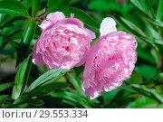 Купить «Розовые пионы в саду», фото № 29553334, снято 6 июля 2017 г. (c) Татьяна Белова / Фотобанк Лори