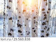 Купить «Birch trees at sunset», фото № 29560838, снято 4 декабря 2018 г. (c) Икан Леонид / Фотобанк Лори