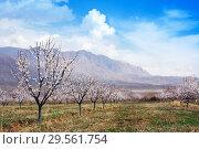 Купить «Apricot farm during sping season against Vayk mountain range, Vayots Dzor Province», фото № 29561754, снято 16 марта 2018 г. (c) Papoyan Irina / Фотобанк Лори