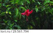 Купить «Red hibiscus flower under rain», видеоролик № 29561794, снято 24 ноября 2018 г. (c) Игорь Жоров / Фотобанк Лори