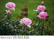 Купить «Декоративные розы в саду», фото № 29563826, снято 23 сентября 2018 г. (c) Литвяк Игорь / Фотобанк Лори