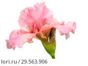 Купить «Цветок ириса на белом фоне», фото № 29563906, снято 6 июля 2017 г. (c) Татьяна Белова / Фотобанк Лори
